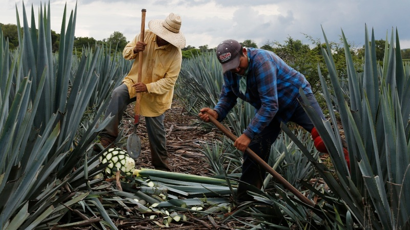Soaring agave prices threaten tequila industry