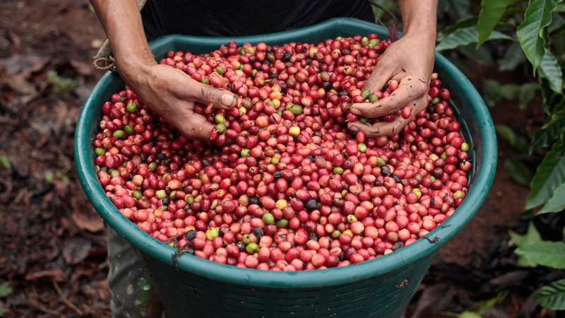 High-end coffee growers reluctantly embrace bitter bean