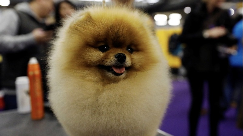 Glass ceiling for dogs? Males win Westminster more often