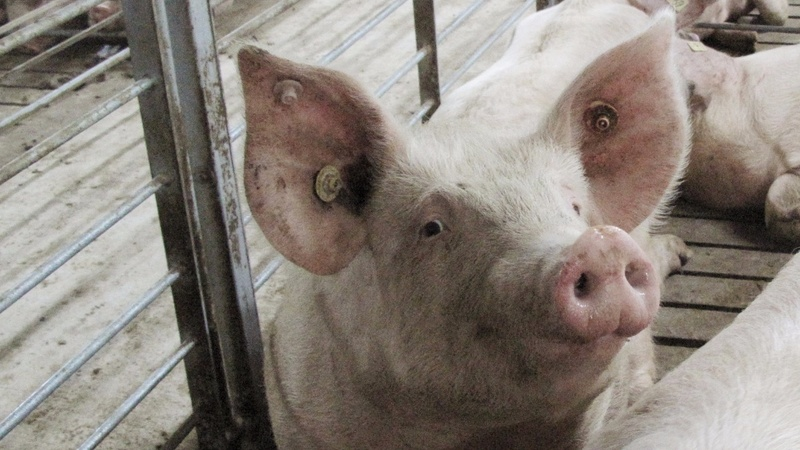 China supersizes pig farms for cut of world's pork market