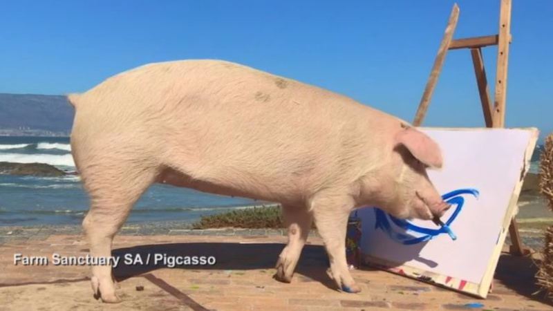 INSIGHT: Reprieved 'Pigcasso' gets painting