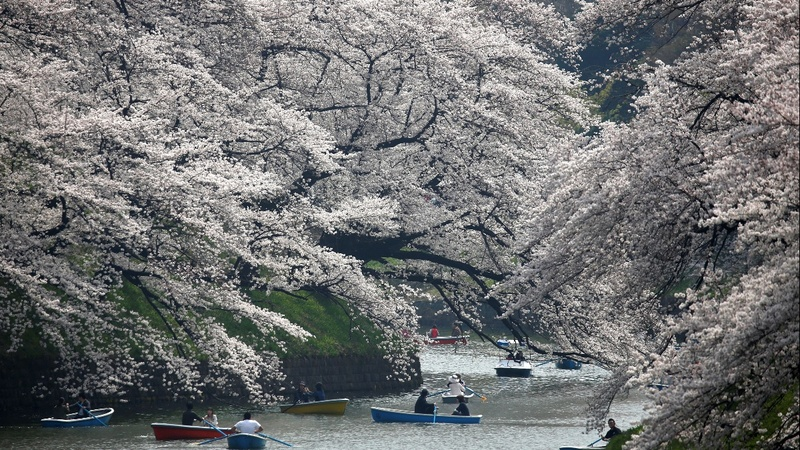 INSIGHT: Cherry blossoms bloom early in Tokyo