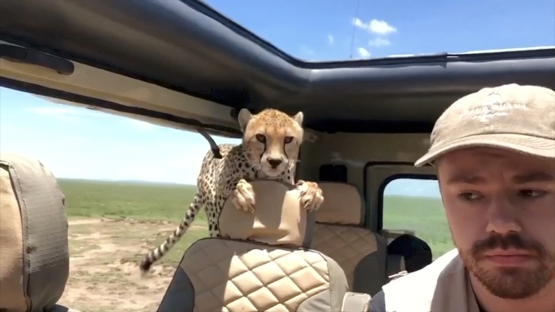 INSIGHT: Curious cheetah surprises family on safari