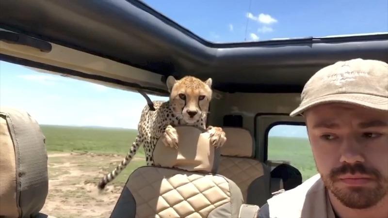 INSIGHT: Curious cheetah surprises family on safari