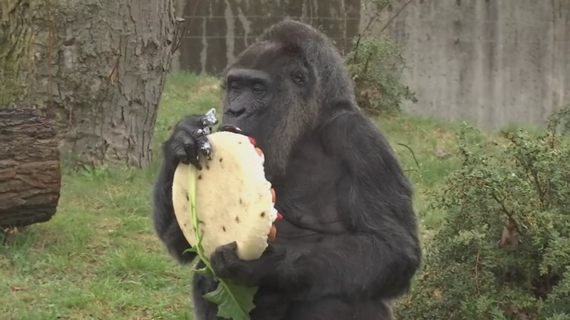 INSIGHT: Gorilla turns 61 with giant cake
