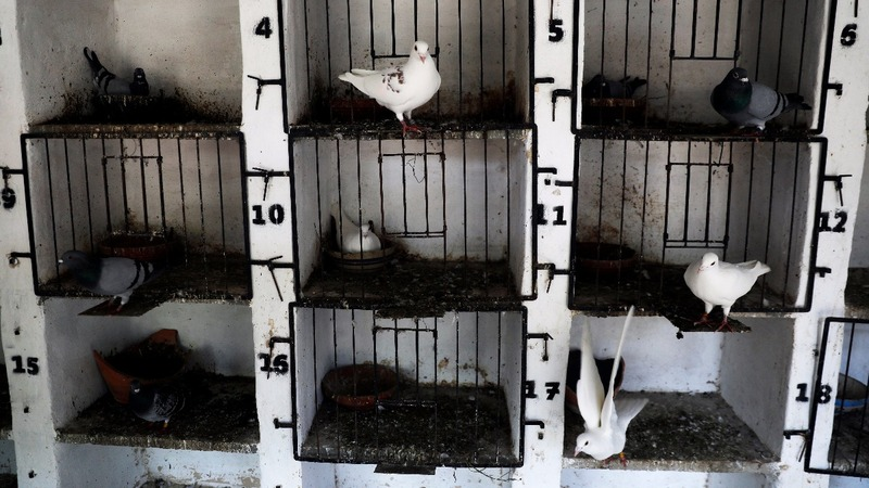 The pigeons that helped Israel win a war
