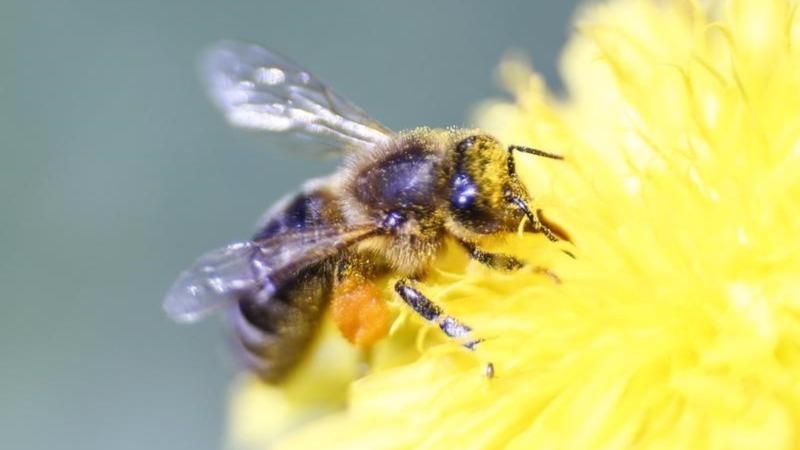 EU bans pesticides blamed for bee deaths