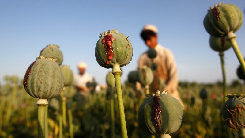 Profits keep Afghan farmers hooked on poppies