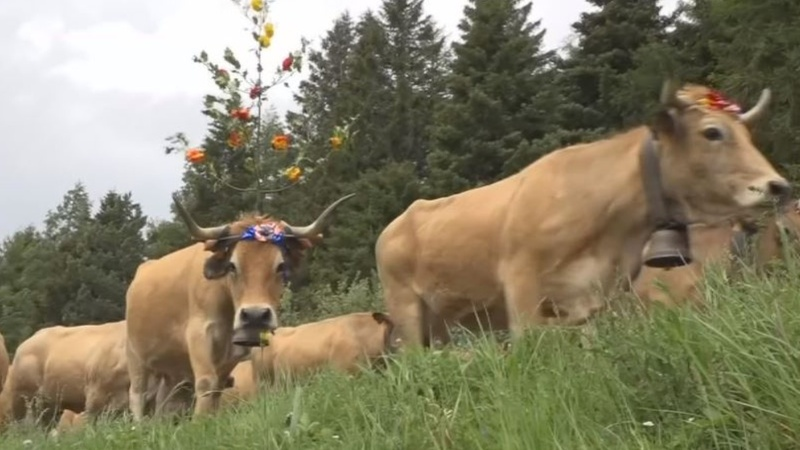 INSIGHT: A 'holiday' for cows in southern France