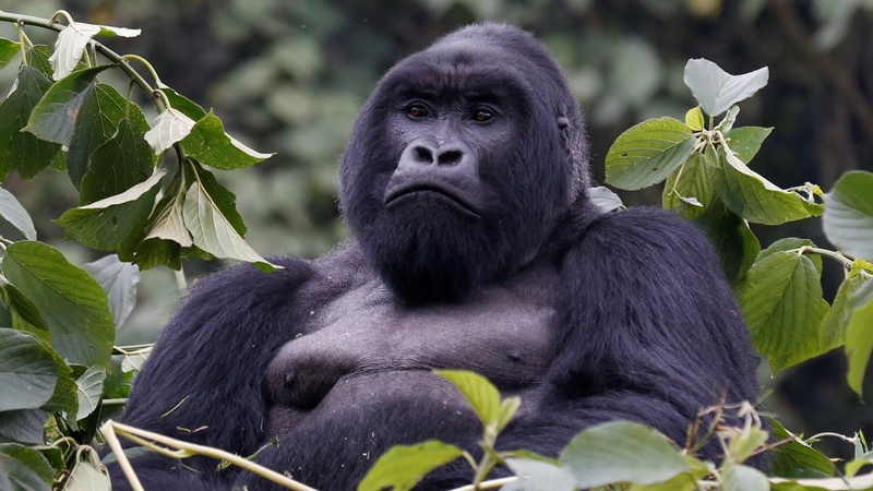 Mountain gorilla population on the rise