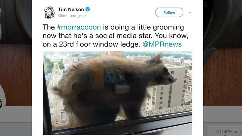 Raccoon scales skyscraper, captures hearts