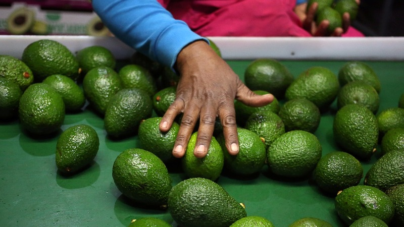 Avocados as good as gold for S.African farmers