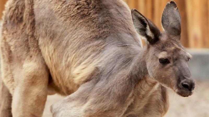 INSIGHT: Kangaroo invades Australian soccer game