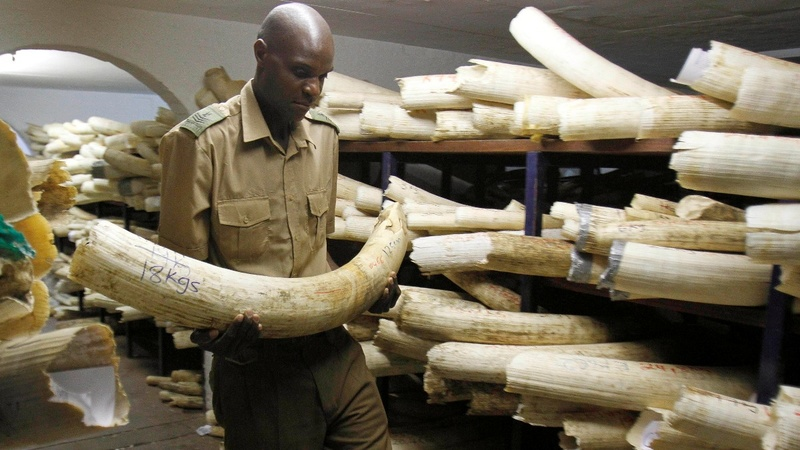 Illegal ivory trade seen booming in the EU