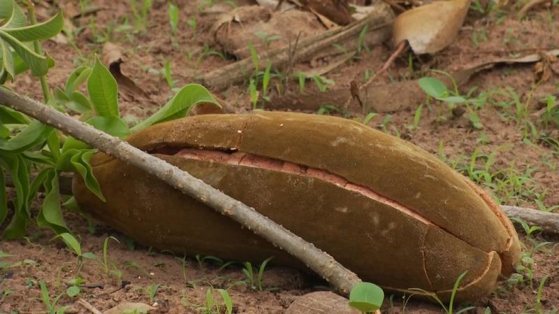Bearing fruit: Africa's baobab goes global