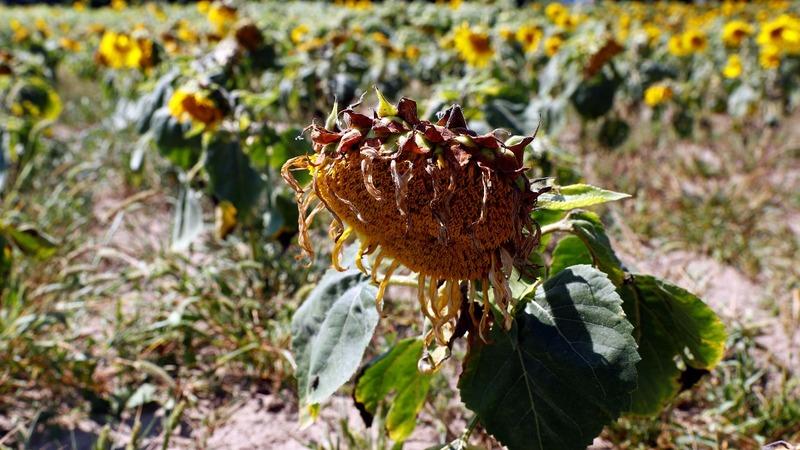 Farmers seek help as heatwave blasts Europe