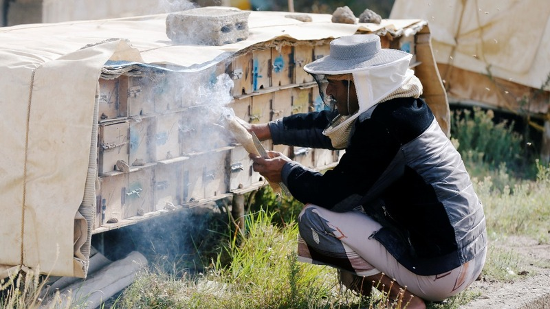 Yemen beekeepers risk their lives for honey
