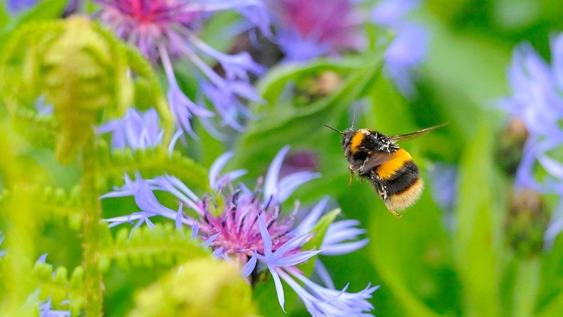 Inbreeding and disease behind the bumblebee's decline