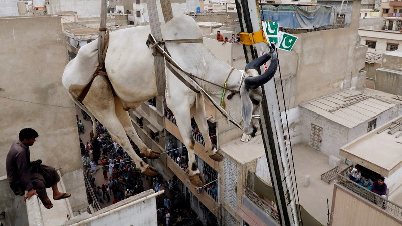 INSIGHT: Cows are given a lift ahead of Eid