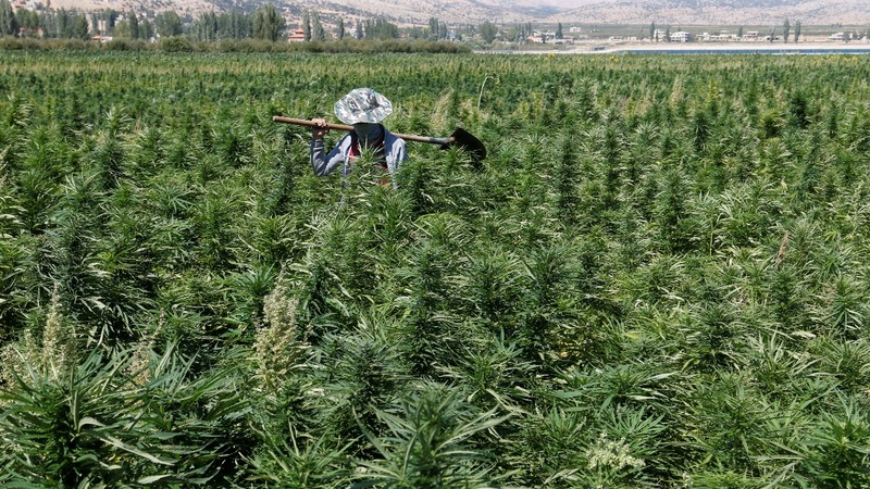 The illegal plant keeping Lebanese farmers afloat