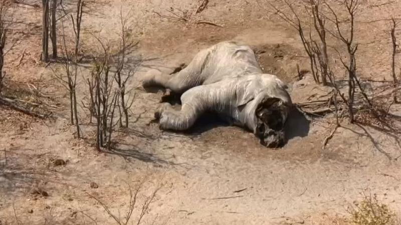 Scores of elephants found dead in Botswana