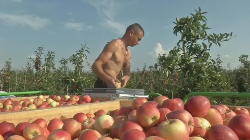 Bumper harvest leaves Polish apple growers blue