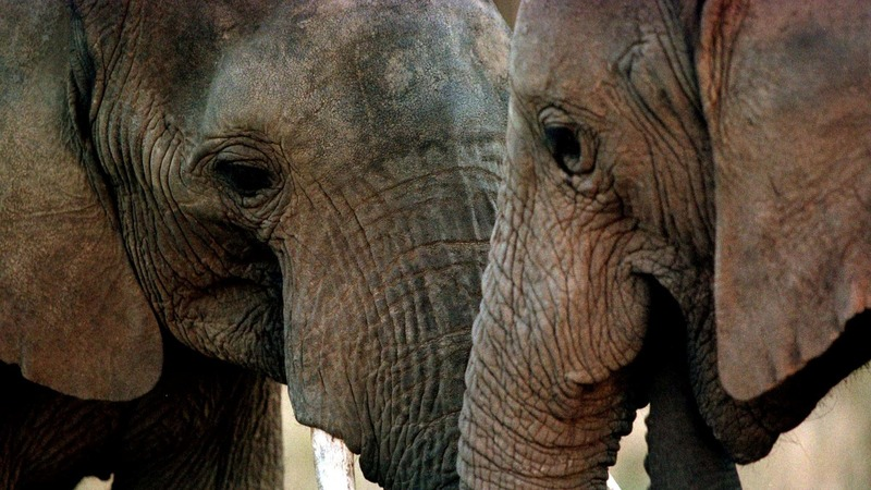 Wrinkles: an elephant's beauty secret