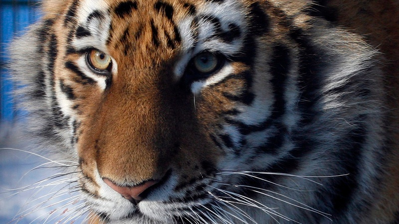 EU urged to stop commercial trade in tigers