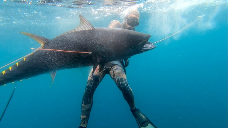 Bluefin tuna make a comeback off California coast