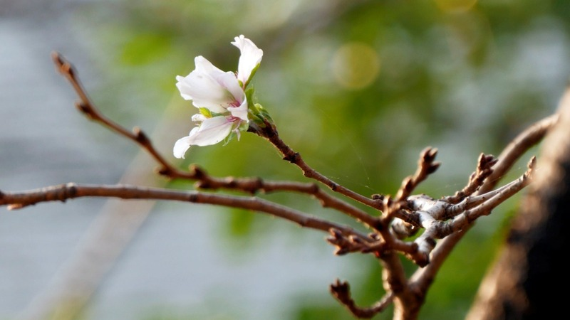 Japan's cherry blossoms are tricked by typhoons