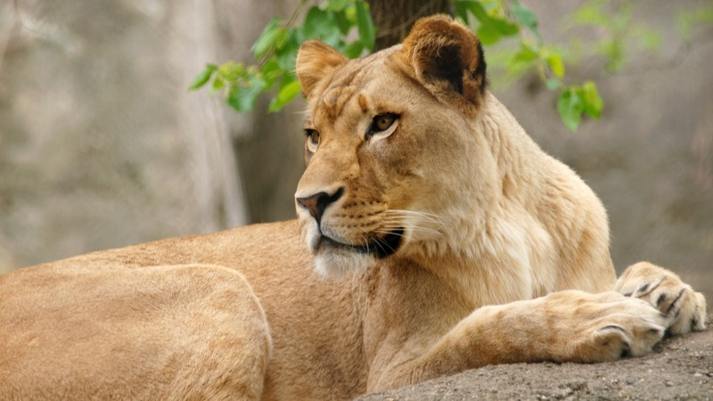 Lioness kills father of her cubs at U.S. zoo