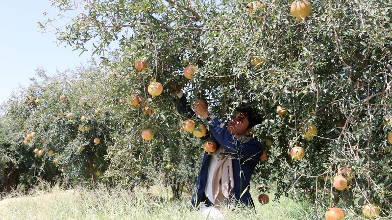 How pomegranates could play a role in solving Yemen