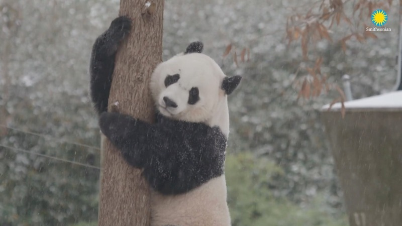 INSIGHT: Zoo panda enjoys a snow day