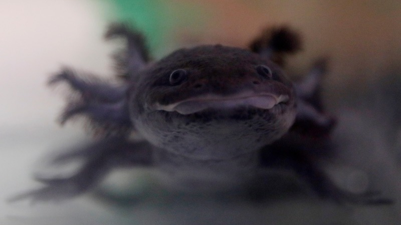 Scientists scramble to save axolotl salamander
