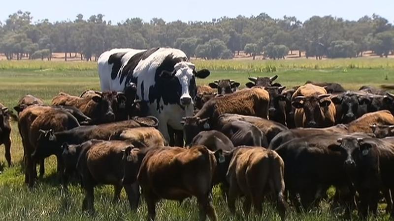 INSIGHT: Australia's 6.4 ft cow dodges the chop