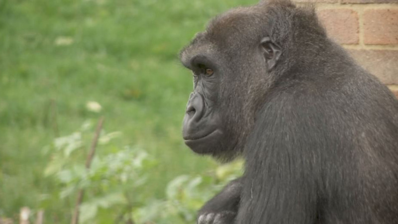 Gorillas are 'cheating' in puzzle-solving tasks