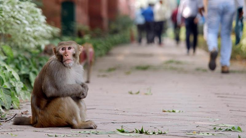 Monkeys terrorize India's center of power
