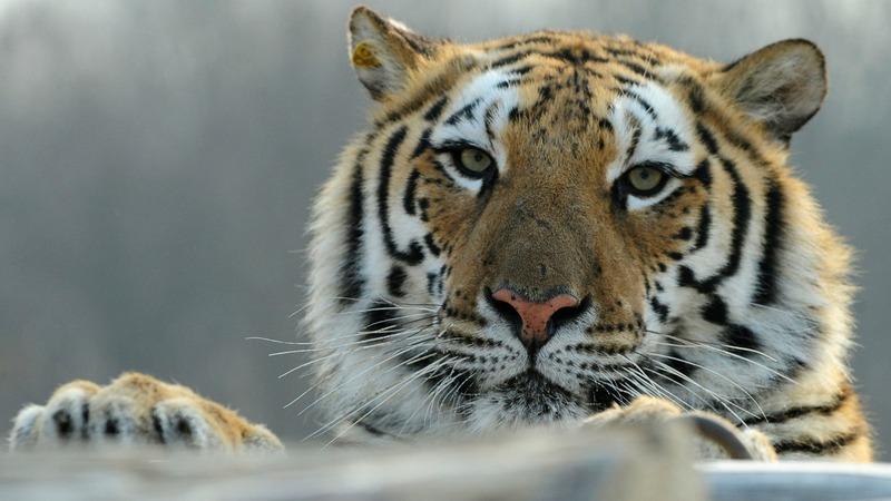 Tiger breeders push lift on China trading ban
