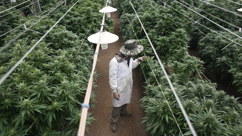 Israel expected to allow medical cannabis exports
