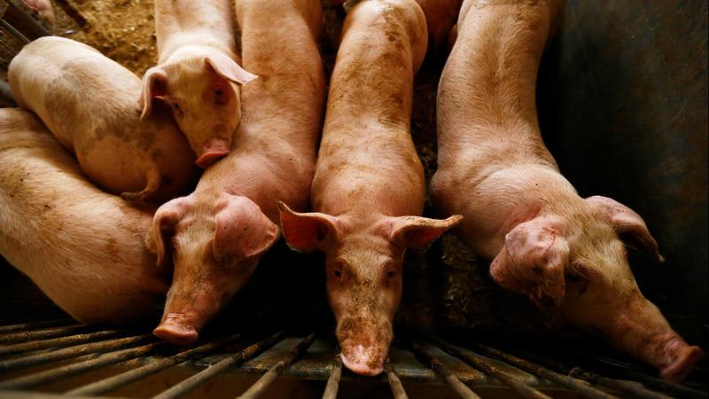 Denmark gets to work on swine fever border fence