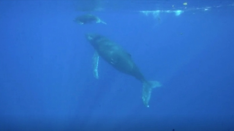 Snot-catching drone helps monitor whale health