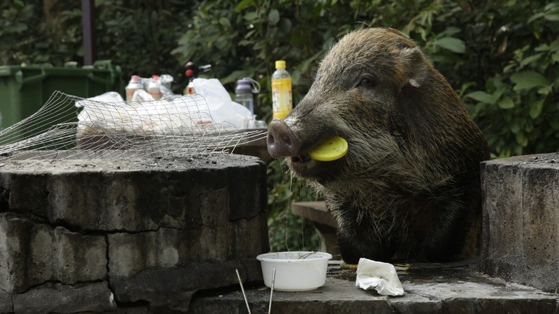 Hong Kong's boar problem in the Year of the Pig