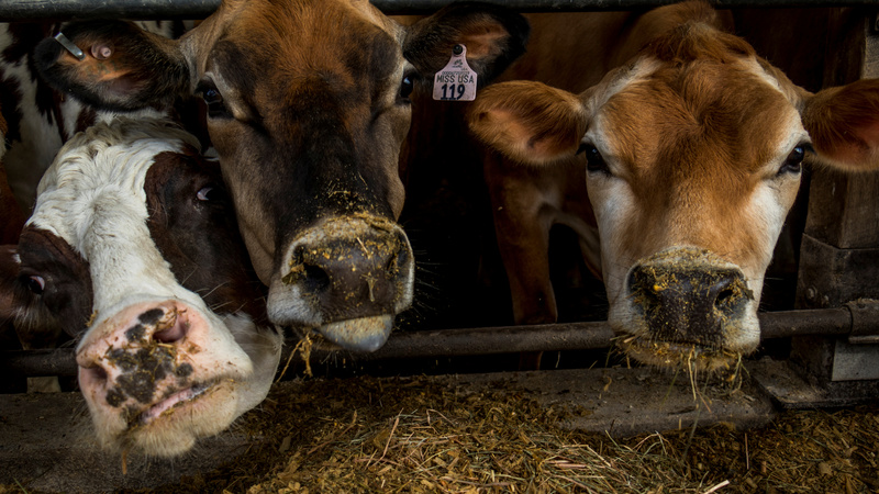 Tinder for cows: helping farmers meet their match