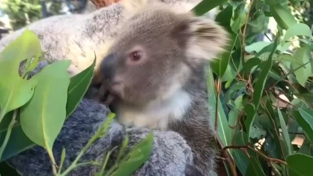 Australian leaders warned: act now to save koalas