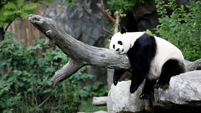 National Zoo's panda artificially inseminated