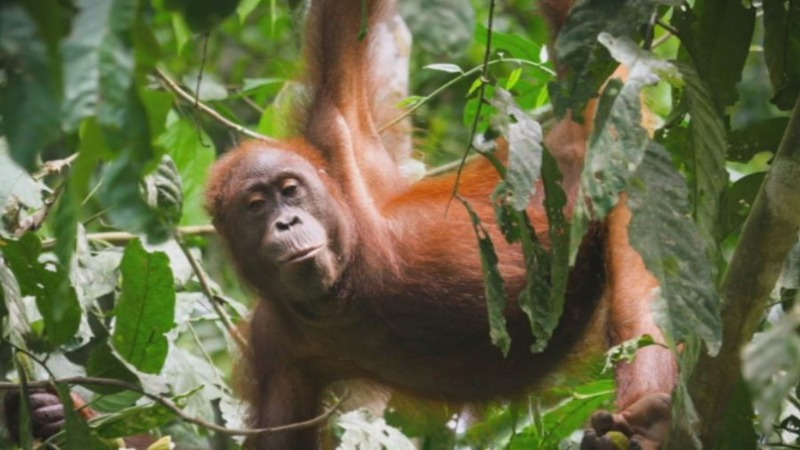 Drones revolutionize orangutan conservation fight