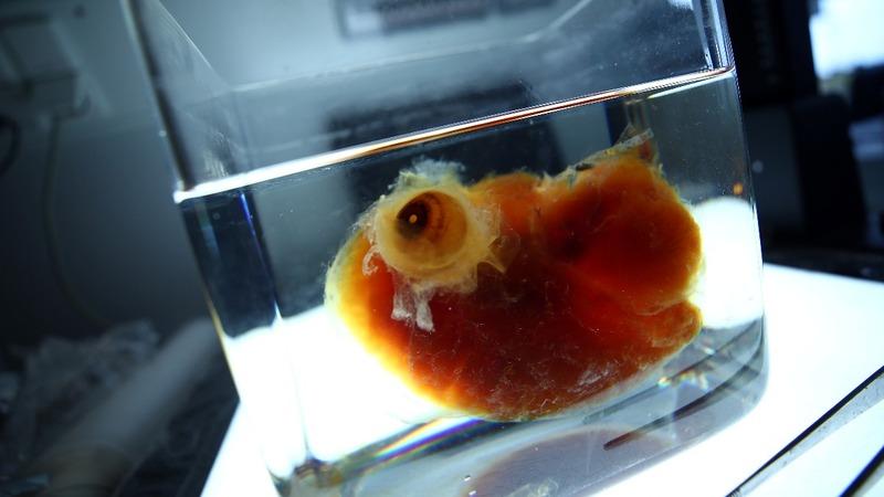 German scientists create transparent human organs