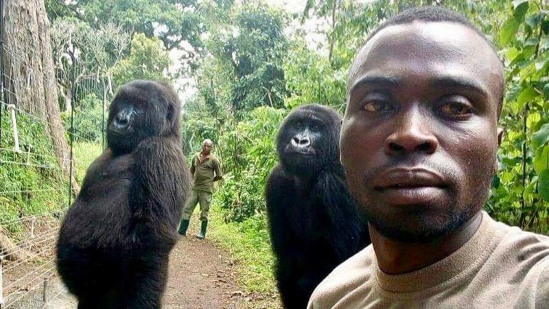Viral selfie gorillas were copycatting humans