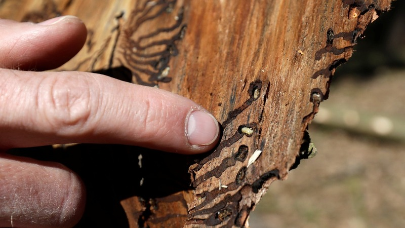 Climate change to blame for bark beetle crisis