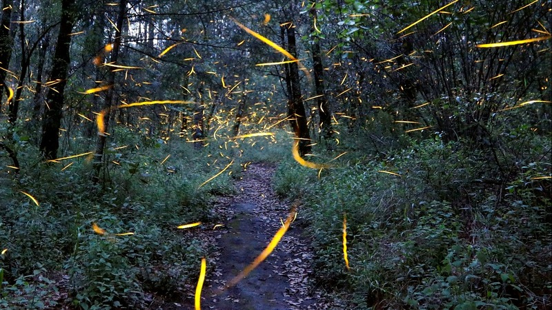 Fireflies that blink in sync draw swarms of tourists